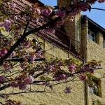 """SAKURA ZENSEN"" –  JAPANESE CHERRY TREES IN SKOPJE IN FULL BLOOM"