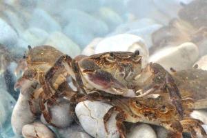 Таинствениот жител на Охридското езеро – слатководниот рак
