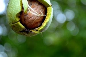 Орев – нешто повеќе од дебела сенка и здрава храна