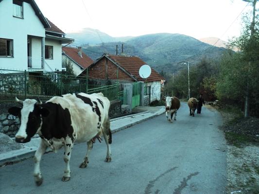 srpska slava kosovo kravi na pat10